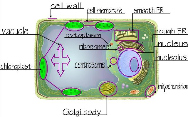 Two basic types animal and plant cells