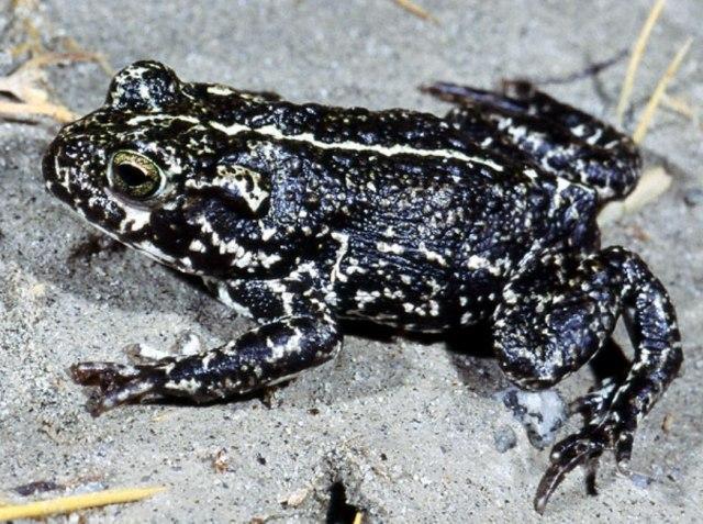 Black Toad